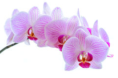 Flores cor-de-rosa bonitas da orquídea no fundo branco Imagem de Stock Royalty Free
