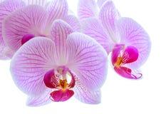 Flores cor-de-rosa bonitas da orquídea no fundo branco Imagens de Stock