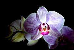 Flores cor-de-rosa bonitas da orquídea no fundo preto Fotografia de Stock