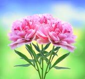 Flores cor-de-rosa bonitas da peônia sobre a natureza Foto de Stock