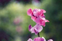 Flores cor-de-rosa bonitas da planta de feijão selvagem Foto de Stock Royalty Free