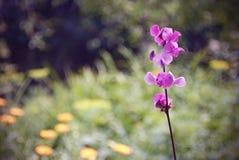 Flores cor-de-rosa bonitas da planta de feijão selvagem Fotografia de Stock Royalty Free