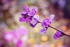Flores cor-de-rosa bonitas da planta de feijão selvagem Imagens de Stock Royalty Free