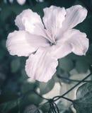 Flores cor-de-rosa bonitas das clematites em um fundo das folhas imagem de stock royalty free