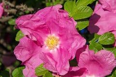 Flores cor-de-rosa bonitas do arbusto cor-de-rosa selvagem no verão Fotos de Stock Royalty Free