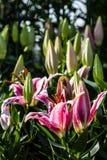 Flores cor-de-rosa bonitas do lírio Imagem de Stock Royalty Free