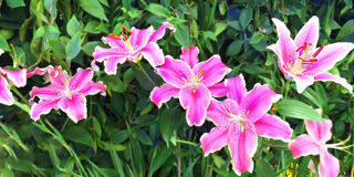 Flores cor-de-rosa bonitas do lírio Foto de Stock Royalty Free