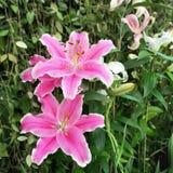 Flores cor-de-rosa bonitas do lírio Fotografia de Stock