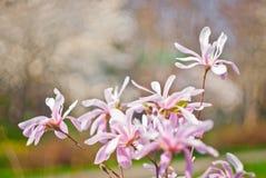 Flores cor-de-rosa bonitas do Magnolia Fotos de Stock Royalty Free