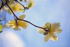 Flores cor-de-rosa bonitas do Magnolia Foto de Stock Royalty Free