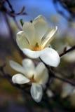 Flores cor-de-rosa bonitas do Magnolia Foto de Stock