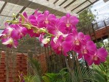 Flores cor-de-rosa bonitas do okide em Sri Lanka foto de stock