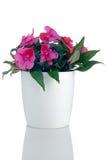 Flores cor-de-rosa bonitas dos impatiens imagens de stock royalty free
