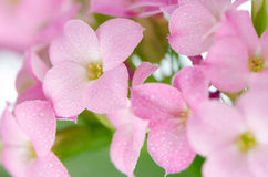 Flores cor-de-rosa bonitas e verde Fotos de Stock