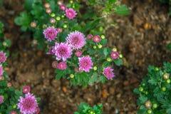 Flores cor-de-rosa bonitas em Tailândia foto de stock royalty free