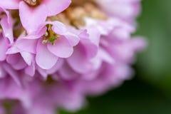 Flores cor-de-rosa bonitas na primavera Espa?o do macro e da c?pia fotografia de stock