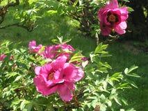 Flores cor-de-rosa bonitas no jardim na primavera fotografia de stock royalty free