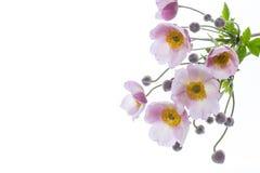 Flores cor-de-rosa bonitos em um fundo branco Foto de Stock Royalty Free