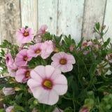 Flores cor-de-rosa brilhantes Fotografia de Stock Royalty Free
