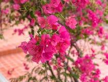 Flores cor-de-rosa brilhantes bonitas da buganvília fotografia de stock
