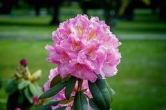 Flores cor-de-rosa brilhantes bonitas do rododendro fotos de stock royalty free