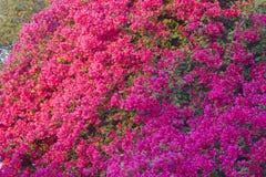 Flores cor-de-rosa brilhantes da buganvília Fotos de Stock Royalty Free