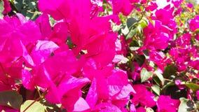 Flores cor-de-rosa brilhantes da buganvília da foto imagens de stock royalty free