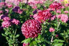 Flores cor-de-rosa brilhantes do crisântemo Fotos de Stock