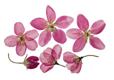 Flores cor-de-rosa brilhantes pressionadas e secas da maçã Isolado Foto de Stock Royalty Free