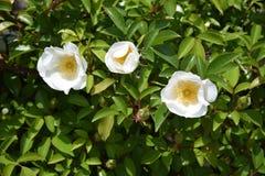 Flores cor-de-rosa Cherokee fotos de stock royalty free