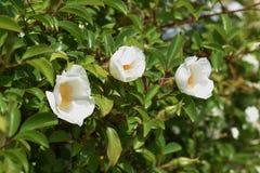 Flores cor-de-rosa Cherokee imagens de stock royalty free