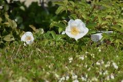 Flores cor-de-rosa Cherokee fotos de stock