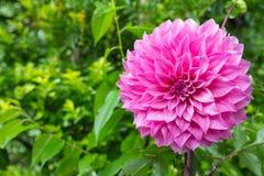 Flores cor-de-rosa coloridas da dália Fotografia de Stock Royalty Free