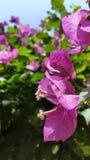 Flores cor-de-rosa com folha verde e o céu azul Foto de Stock