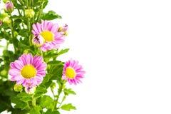 Flores cor-de-rosa com grupo verde das folhas no branco foto de stock