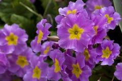 Flores cor-de-rosa com um núcleo amarelo, pétalas da mola da prímula Imagem de Stock Royalty Free