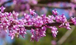 Flores cor-de-rosa da árvore Foto de Stock Royalty Free