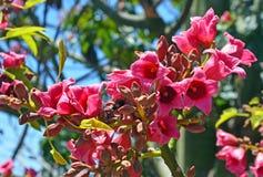 Flores cor-de-rosa da árvore da garrafa de Kurrajong Imagens de Stock Royalty Free