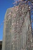 Flores cor-de-rosa da árvore de ameixa japonesa Ume no japonês na mola adiantada sob o céu azul Foto de Stock Royalty Free