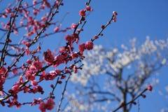 Flores cor-de-rosa da árvore de ameixa japonesa Ume no japonês na mola adiantada sob o céu azul Imagens de Stock