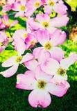 Flores cor-de-rosa da árvore de corniso na mola imagens de stock
