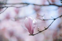 Flores cor-de-rosa da árvore da flor da magnólia, fim acima do ramo, exterior imagem de stock
