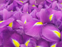 Flores cor-de-rosa da íris Flores do jardim closeup Imagens de Stock
