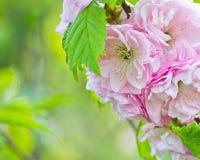 Flores cor-de-rosa da amêndoa Imagens de Stock