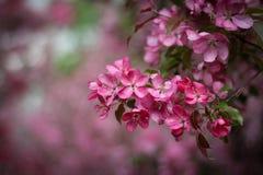 Flores cor-de-rosa da Apple-árvore Fotografia de Stock Royalty Free
