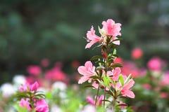 Flores cor-de-rosa da azálea foto de stock