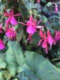 Flores cor-de-rosa da bailarina Fotos de Stock Royalty Free