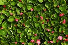 Flores cor-de-rosa da begônia com folhas imagens de stock royalty free