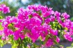 Flores cor-de-rosa da buganvília fotos de stock
