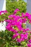 Flores cor-de-rosa da buganvília imagem de stock royalty free